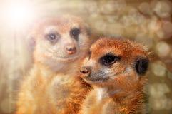 Meerkat stellen gegenüber Lizenzfreies Stockfoto
