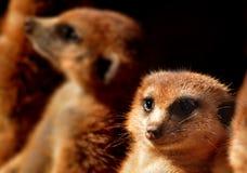 Meerkat stellen gegenüber Lizenzfreies Stockbild