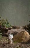 Meerkat Stellung lizenzfreies stockbild