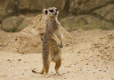 Meerkat Stellung und Schauen Stockfoto