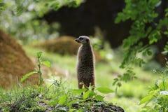 Meerkat-Stellungsuhr stockbilder