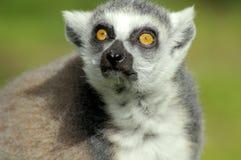 Meerkat stirrande fotografering för bildbyråer