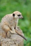 Meerkat stoi pionowego i przyglądającego ostrzeżenia Obraz Royalty Free