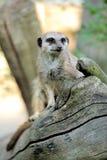 Meerkat stoi pionowego i przyglądającego ostrzeżenia Fotografia Stock