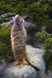 Meerkat stojaki na swój tylnych nogach i patrzeją w górę obraz royalty free
