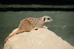 Meerkat on a stone  (Suricata suricatta) Stock Photography