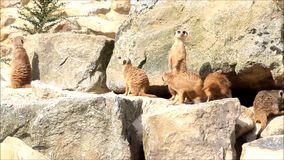 Meerkat on stones looking around, Erdmännchen stock video footage