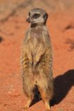 Meerkat Stood Royalty Free Stock Images