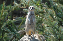 Meerkat. Stood on back legs just looking at the camera Stock Photo