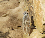Meerkat Standing up against rocks Royalty Free Stock Photos