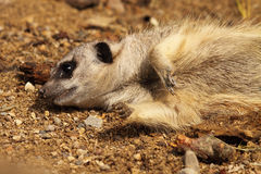 Meerkat Stretched Out Royalty Free Stock Image