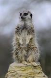 Meerkat strzeżenie Zdjęcia Royalty Free