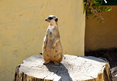 The meerkat on a stub in Friguia park. Tunisia. Royalty Free Stock Photo