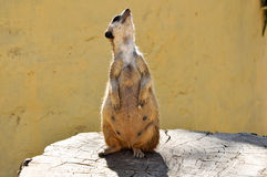 The meerkat on a stub in Friguia park. Tunisia. Royalty Free Stock Photography
