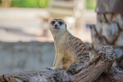 Meerkat sudafricano Fotografia Stock Libera da Diritti