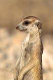 Meerkat sul dovere dell'allerta Fotografie Stock Libere da Diritti