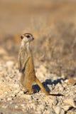 Meerkat sul dovere dell'allerta Fotografia Stock