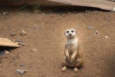 Meerkat sul dovere di protezione fotografie stock
