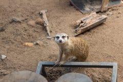 Meerkat sul dovere di protezione fotografia stock