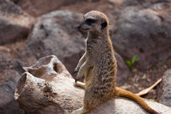 Meerkat sul fondo della roccia Fotografie Stock Libere da Diritti
