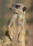 Meerkat sull'allerta Fotografia Stock