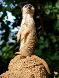 Meerkat sull'allerta che si leva in piedi in su Fotografie Stock Libere da Diritti