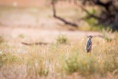 Meerkat sull'allerta nel Kgalagadi Immagini Stock