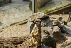 Meerkat sulla passerella Fotografia Stock