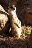 Meerkat in the sun Royalty Free Stock Images