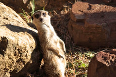 Meerkat in the sun Stock Photos