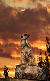 Meerkat sunset Stock Image