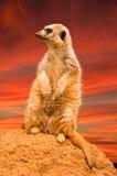 Meerkat sunset Stock Photography