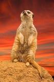 Meerkat sunset Royalty Free Stock Photo