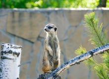 Meerkat sur la branche d'arbre Images libres de droits