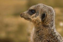 Meerkat sur la montre Photo libre de droits