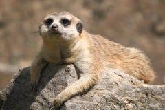 Meerkat sur la pierre photos libres de droits