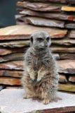 Meerkat sur la surveillance Photos stock