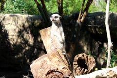 Meerkat sur la surveillance Image stock