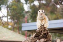 Meerkat sur le branchement Photographie stock libre de droits