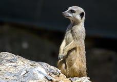 Meerkat sur le dispositif protecteur Image libre de droits