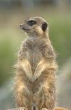 Meerkat sur le dispositif protecteur ! Photo stock