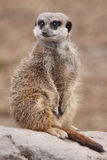 Meerkat sur le dispositif protecteur Photo stock