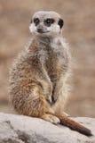 Meerkat sur le dispositif protecteur photo stock