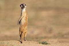 Meerkat sur le dispositif protecteur Photo libre de droits