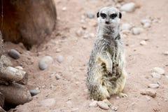 Meerkat sur le dispositif protecteur Image stock
