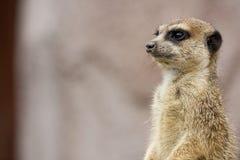 Meerkat sur le dispositif protecteur Images libres de droits