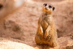 Meerkat sur le dispositif protecteur Photographie stock