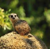 Meerkat sur une roche Photographie stock libre de droits
