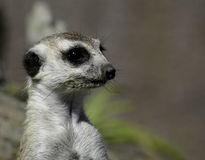 Meerkat sur une surveillance Image libre de droits