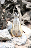 Meerkat (Suricat) Royalty Free Stock Images